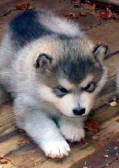 Colors And Markings Of Purebred Alaskan Malamute Puppies